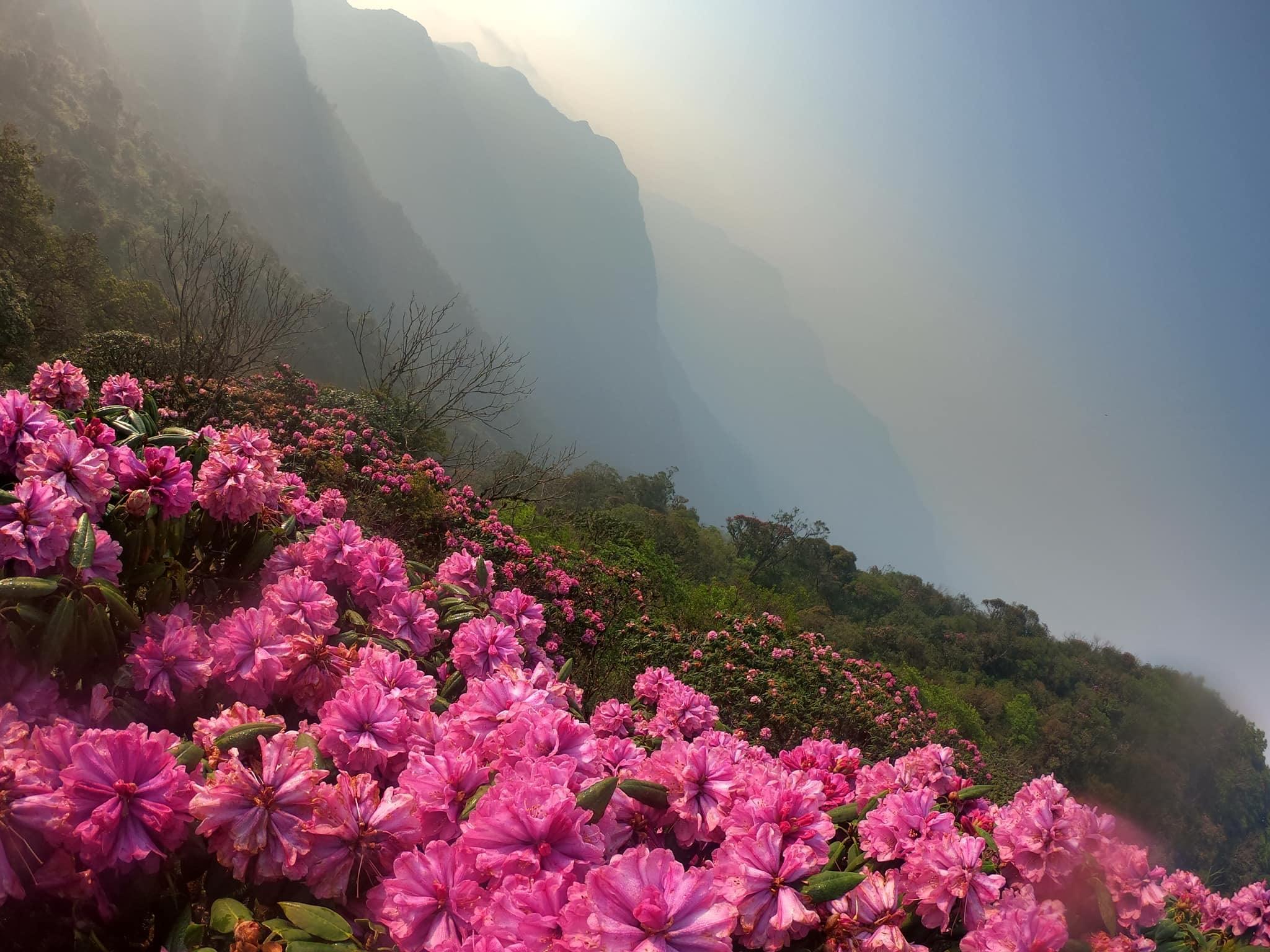 Mùa hoa đỗ quyên bắt đầu từ tháng 4 đến tháng 5